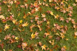 Leaves of Japanese maple in fall color, lying on grass.