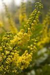 Oregon grape flower in bloom