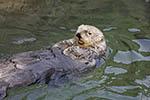 Sea otter swimming on its back at Vancouver Aquarium