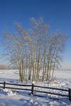 Frozen aspen