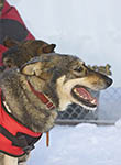 Racing dog, ready to go at start of Yukon Quest dogsled race