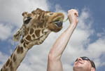 Man feeds acacia leaf to giraffe
