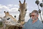 Man feeds acacia leaves to giraffes