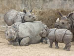 Jontu, male baby Indian one-horned rhino (Rhinoceros unicornis) feels frisky as he challenges juvenile rhino (Tanaya) and her mom (Shanti) in play fight.
