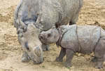 Jontu, male baby Indian one-horned rhino (Rhinoceros unicornis) feels frisky as he challenges female juvenile rhino, Shanti, in play fight.