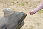 Woman feeds apple slices to rhino