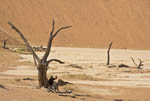 Man sits among skeletal remains of acacia trees on the limestone of Dead Vlei, Namibia, Africa.