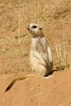 Meerkat in Namibia, Africa