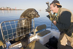 Visiting man photographs Robbie the Cape fur seal, who comes to greet tour boats in Walvis Bay, just south of Swakopmund, a popular adventure tourist center on the Namibia coast.