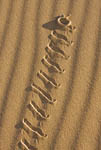 Peringueys adder (Bitis peringueyi), also known as sidewinder, in desert outside Swakopmund, Namibia, Africa