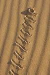 Peringueys adder (Bitis peringueyi), also known as sidewinder, in desert outside Swakopmund, Namibia, Africa