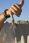 Shovel snouted or sand diving lizard holds onto man's finger in African desert