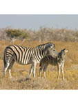 Plains zebra mare and colt in Etosha, Namibia's largest game park.