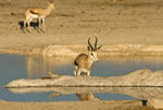 Springbok at watering hole in golden late afternoon sun in Etosha, wildlife park in Namibia, Africa.
