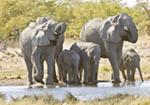 Elephants enjoy waterhole in Etosha, Namibia's largest wild animal park.