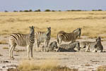 Burchell's (Plains) Zebra in Etosha, Namibia's largest wild animal park.