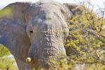 Elephant peeks from the bushes of Etosha, Namibia's largest wild animal park.