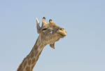 Giraffe shakes his head, flapping his ears in Etosha, Namibia's largest game park.