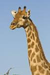 Giraffe (Giraffa camelopardalis) in Etosha, Namibia's largest game park. Africa.