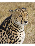 King cheetah, one of 20 in world, at Hoedspruit Endangered Species Center in South Africa.