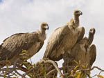 Cape griffon or Cape vultures sitting in a tree.