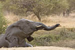 Elephant enjoys spraying himself with water at waterhole at Camp Jabulani, a safari game park near Hoedspruit, South Africa.