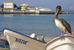 Pelican sits on fishing boat while waiting for scraps while fishermen clean fish on the north beach of the Malecon, the famous beach strip of Mazatlan, Mexico.