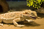 Bearded dragon lizard. Pogona vitticeps. Here the lizard eats a worm.
