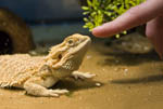 Bearded dragon lizard. Pogona vitticeps. Here a finger poses by the lizard's head.