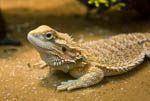 Bearded dragon lizard. Pogona vitticeps