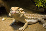 Bearded dragon lizard. Pogona vitticeps. Here, he sticks out his tongue as he aims to catch a worm.