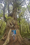 Camper measures herself against a western red cedar in Pacific Rim National Park of British Columbia, Canada
