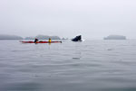Kayakers watch as 30 ton humpback whale (Megaptera novaeangliae) surfaces close to their kayak.