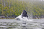 30 ton humpback whale jumps from water while feeding on small baitfish in the Broken Group Islands of Pacific Rim National Park on the west coast of Vancouver Island, Canada.