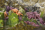 Orange and purple sea stars cling to rocks with mussels and barnacles along shoreline of island on the west coast of Vancouver Island, Canada.