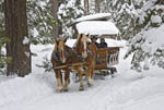Sleigh ride through a pine tree forest, South Lake Tahoe, USA.