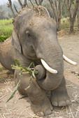Elephant kneeling on ground with bamboo shoots