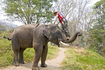 Man demonstrates how to climb up on an elephant