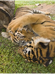 Six-month-old tiger cubs wrestle and play