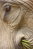 Closeup of Asian elephant, Chiang Mai area, northern Thailand
