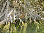 Bromeliad air plant sits in tangle of mangrove roots at Sian Ka'an Biosphere Reserve in Riviera Maya.