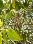 Bromeliad air plant sits in tangle of mangrove branches at Sian Ka'an Biosphere Reserve in Riviera Maya.