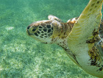 Hawksbill turtle feeds on grass in shallow water of Akumal Bay along the Yucatan Peninsula of Mexico.