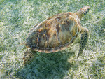 Hawksbill turtle feeds on grass in shallow water of Akumal Bay along the Yucatan Peninsula of Mexico. The Hawksbill turtle is considered critically endangered.
