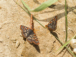 Western Checkerspot butterflies (Euphydryas chalcedona anicia) sit on the bank of a river to lick minerals from the sand.