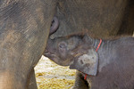Baby elephant nurses on mother at Elephant Stay, an elephant conservation center in the Bangkok area.