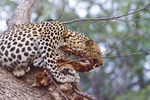 Female leopard in a mango tree eats fresh killed impala