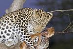 Female leopard in a mango tree eats fresh killed impala