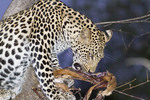 Female leopard in a mango tree eats fresh killed impala.