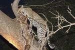 Female leopard in a mango tree eats fresh killed impala.
